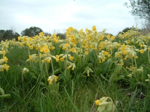 Cowslips - part of the all-yellow bee pasture