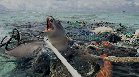 Seal trapped in discarded fishing gear